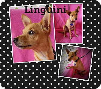 Chihuahua Mix Dog for adoption in Houston, Texas - Linguini