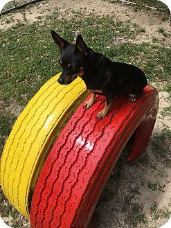 Chihuahua Mix Dog for adoption in Covington, Louisiana - Reese Puff