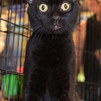 Adopt A Pet :: Pluto (& Mars) - Herndon, VA