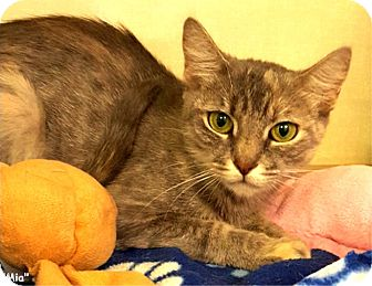 Domestic Shorthair Cat for adoption in Key Largo, Florida - Mia