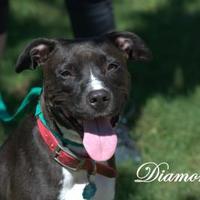 Adopt A Pet :: Diamond - Middleburg, FL