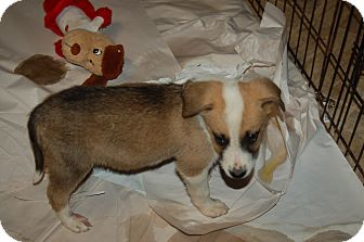 St. Bernard Mix Puppy for adoption in Lebanon, Tennessee - Francisco