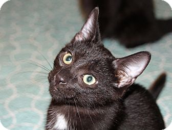 Domestic Shorthair Kitten for adoption in Troy, Michigan - Lager