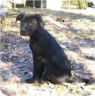 Boxer/Labrador Retriever Mix Puppy for adoption in Thomasville, Georgia - Ruth