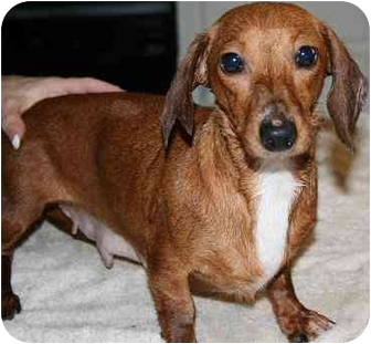 Dachshund Dog for adoption in House Springs, Missouri - Lilie
