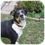 Photo 3 - Labrador Retriever/German Shepherd Dog Mix Dog for adoption in London, Ontario - Sugar