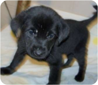 Collie Mix Puppy for adoption in Detroit, Michigan - Penelope