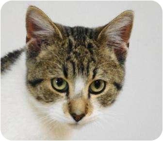 Domestic Shorthair Kitten for adoption in Overland Park, Kansas - Rider