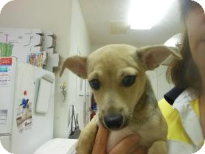 Chihuahua Mix Puppy for adoption in Lebanon, Maine - Christian-LOCAL