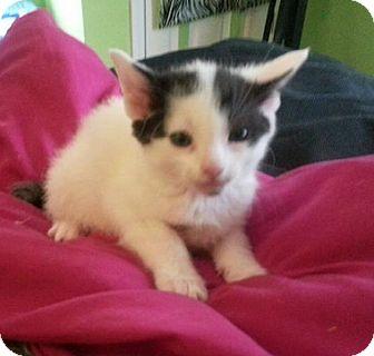 Domestic Shorthair Kitten for adoption in Hainesville, Illinois - Bailey
