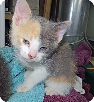 Domestic Shorthair Kitten for adoption in Marseilles, Illinois - Amys Callie