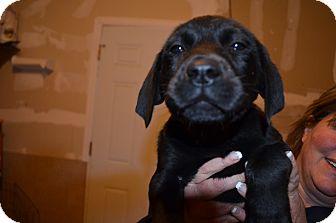 Labrador Retriever Mix Puppy for adoption in Westminster, Colorado - Pete