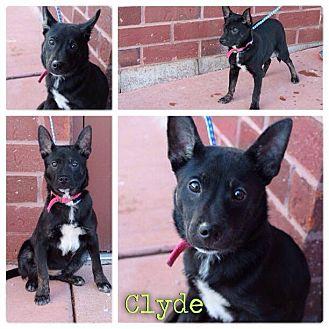 Shiba Inu Mix Puppy for adoption in Garden City, Michigan - Clyde