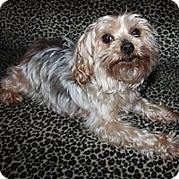 Yorkie, Yorkshire Terrier Dog for adoption in Statewide and National, Texas - Matty