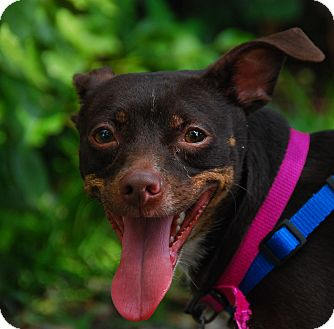 Chihuahua Mix Dog for adoption in Philadelphia, Pennsylvania - Choco