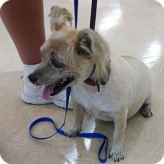 Cairn Terrier Dog for adoption in Richmond, Virginia - Katie