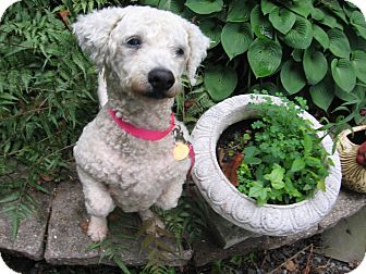 Bichon Frise/Poodle (Miniature) Mix Dog for adoption in Wilmington, Delaware - Lulu