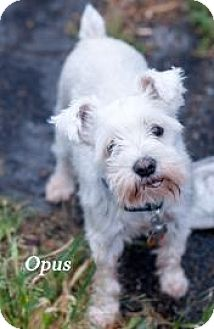 Miniature Schnauzer Mix Dog for adoption in West Des Moines, Iowa - Opus
