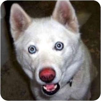 Siberian Husky/German Shepherd Dog Mix Dog for adoption in Various Locations, Indiana - Ivy