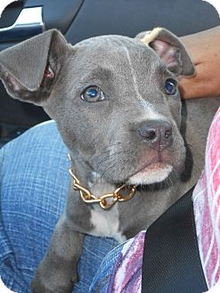 American Staffordshire Terrier Mix Puppy for adoption in Rochester Hills, Michigan - China