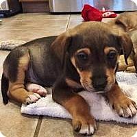 Adopt A Pet :: Ollie - Marlton, NJ