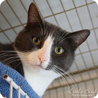 Domestic Shorthair Cat for adoption in Seattle c/o Kingston 98346/ Washington State, Washington - Macy