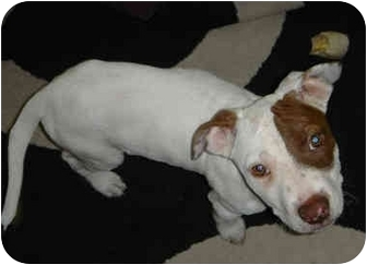 American Pit Bull Terrier Puppy for adoption in All of Colorado, Colorado - Little Rascal <b>Ronin</b>