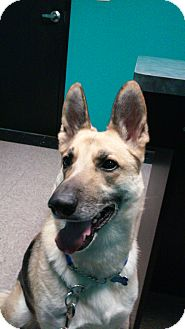 German Shepherd Dog Dog for adoption in SAN ANTONIO, Texas - RAIN