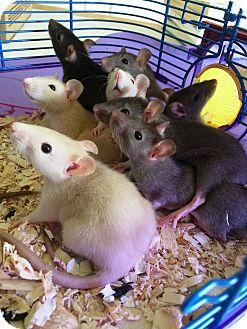 Rat for adoption in Edinburg, Pennsylvania - Chester, Amos, and Benny