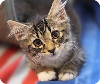 Maine Coon Kitten for adoption in Richmond, Virginia - Ziti