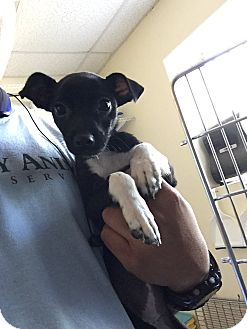 Chihuahua/Terrier (Unknown Type, Small) Mix Puppy for adoption in Kirby, Texas - Li'l Orphan Annie