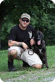Dutch Shepherd Dog for adoption in Wattertown, Massachusetts - Uhli