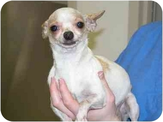 Chihuahua Dog for adoption in Pembroke Pines, Florida - Daisy Dolly