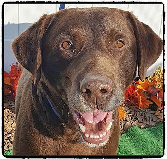 Labrador Retriever Dog for adoption in Marietta, Georgia - HERSHEY (R)