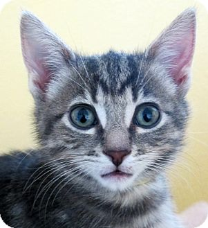 American Shorthair Kitten for adoption in Eastsound, Washington - Marco