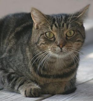 Domestic Shorthair Cat for adoption in North Fort Myers, Florida - Marble