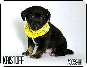 Pug/Chihuahua Mix Puppy for adoption in Phoenix, Arizona - Kristoff