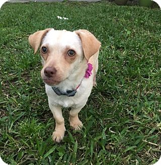 Chihuahua Mix Dog for adoption in Houston, Texas - Pumpkin