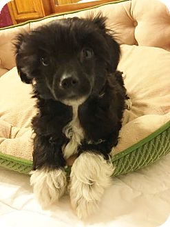 Chinese Crested Puppy for adoption in Fairview Heights, Illinois - Boomer and Peanut