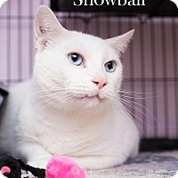 Adopt A Pet :: Snowball - Shelton, WA