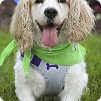 Adopt A Pet :: Buddy - Westminster, MD