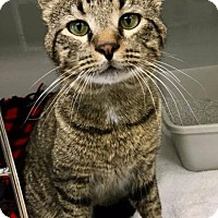 Domestic Shorthair Cat for adoption in St. Charles, Missouri - Marshall