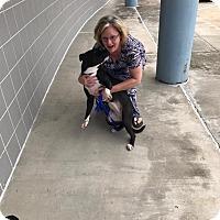 Adopt A Pet :: Sierra - Dallas, TX