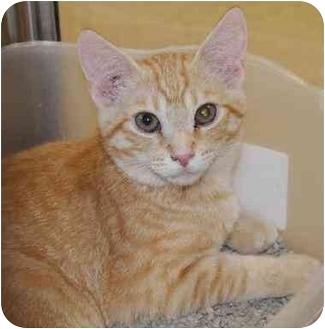 Domestic Shorthair Kitten for adoption in Woodstock, Georgia - Frito