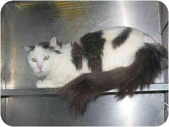 Domestic Mediumhair Cat for adoption in El Cajon, California - Logan