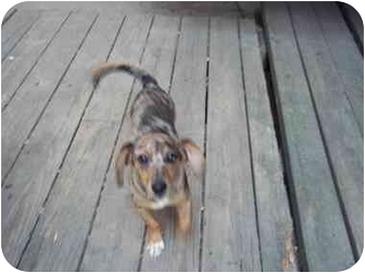 Dachshund/Jack Russell Terrier Mix Puppy for adoption in all of, Connecticut - Autum (colors)