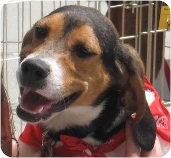 Beagle/Coonhound Mix Dog for adoption in Lincolnton, North Carolina - Sasha  39322