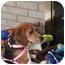 Photo 2 - Beagle/Basset Hound Mix Dog for adoption in Troy, Michigan - Autumn