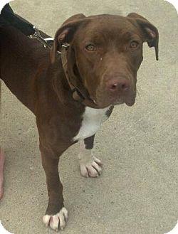 Chesapeake Bay Retriever/Labrador Retriever Mix Puppy for adoption in Claypool, Indiana - Abbey