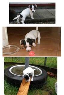 Australian Shepherd/Chihuahua Mix Puppy for adoption in Bellingham, Washington - Bella